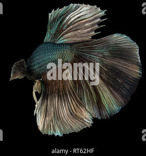 Beautiful blue betta fish closeup macro on black background - Stock Photo