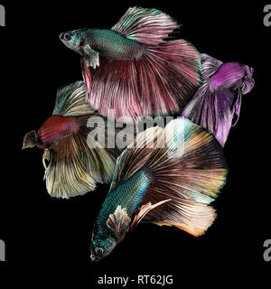 Four beautiful and colorful betta fish closeup macro on black background - Stock Photo