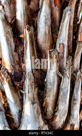 A close up of trimmed trunk of a date palm tree, Phoenix dactylifera. - Stock Photo