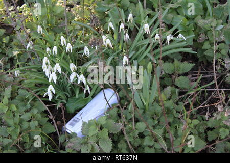Beer can thrown ,discarded  in clump of snow drops in British countryside - Stock Photo