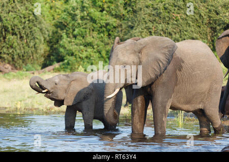 Baby elephant with trunk in his mouth drinking beside mother - Stock Photo