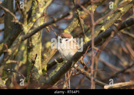 Eurasian tree sparrow (Passer montanus) perched on a branch - Stock Photo