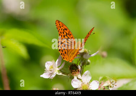 A Silver-washed Fritillary butterfly (Argynnis paphia) feeding on a flower. - Stock Photo