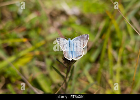 A Chalkhill Blue butterfly(Polyommatus coridon) from the family Lycaenidae, feeding form a flower. - Stock Photo