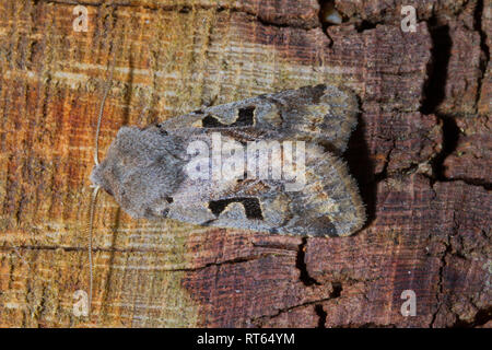 Hebrew Character moth (Orthosia gothica) resting on a log. - Stock Photo