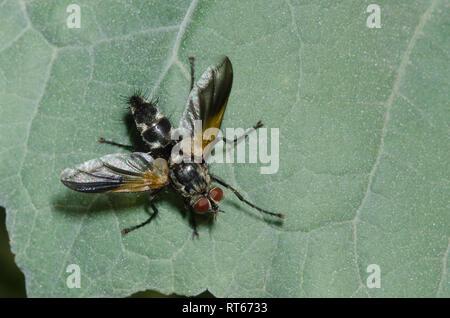 Tachinid Fly, Uramya indita, male - Stock Photo