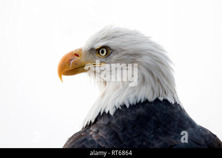 Bald eagle (Haliaeetus leucocephalus) portrait, Alaska Chilkat Bald Eagle Preserve, Haines, Alaska - Stock Photo