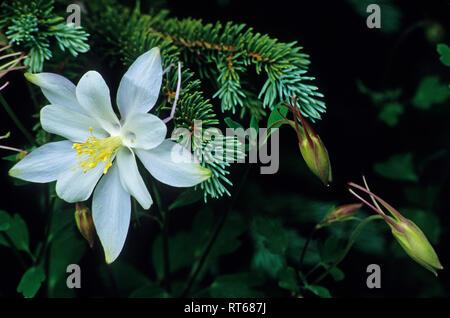 Colorado Columbine wildflower at Cedar Breaks National Monument, Utah - Stock Photo