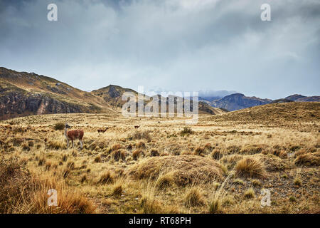 Chile, Valle Chacabuco, Parque Nacional Patagonia, steppe landscape at Paso Hondo with vicunas in background - Stock Photo