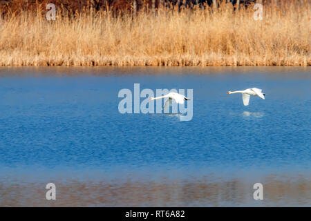 Pair of Swans Flying Over Water, water reflection - Stock Photo