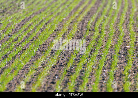 Green fields with young wheat sprouts at sunrise green wheat, spring agricultural sunrise - Stock Photo
