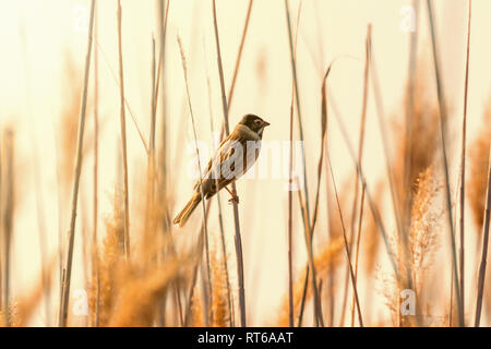 Common reed bunting (Emberiza schoeniclus) sitting on reed - Stock Photo