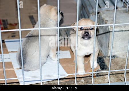 two beige puppies behind the fence in the shelter, animal shelter, dog rescue, volunteer work - Stock Photo