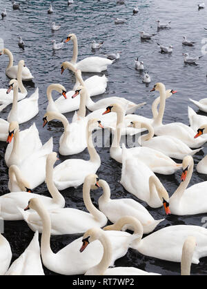 Plethora of white swans and seagulls on a lake - Stock Photo