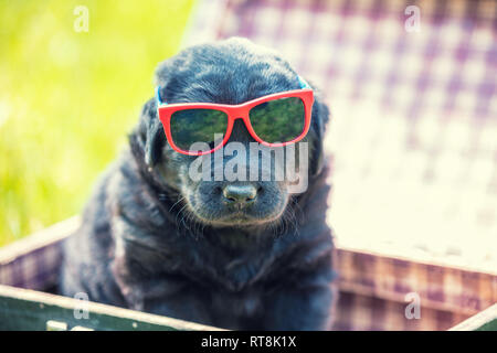 Labrador retriever puppy in sunglasses sits in a suitcase on the grass in summer - Stock Photo