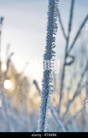 Delicate frost crystals growing on grass stalks are illuminated by the golden light of the low winter sun on a cold day in northern Sweden. - Stock Photo