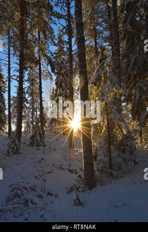 The low golden winter sun is shining through the snow-covered trees in a softwood forest. - Stock Photo