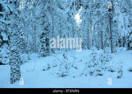 Thick snow is covering the trees in a softwood forest on a cold  winter day. - Stock Photo