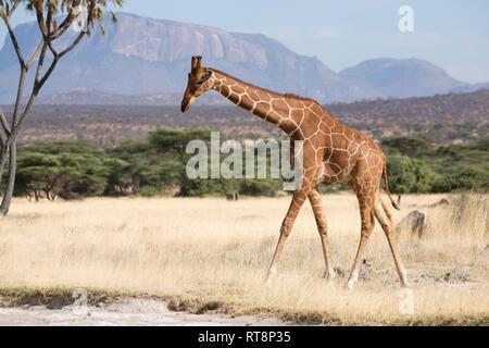 Reticulated or Somali giraffe, Giraffa camelopardalis reticulata, in semi-arid grassland, Buffalo Springs National Reserve, Kenya