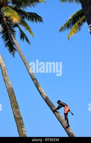 Toddy Tapping, Coconut Tree, Varkala, Kerala, India - Stock Photo