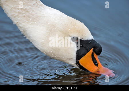 Right head close up profile portrait of a drinking Cygnus Olor, Mute Swan  showing knob and partially submerged beak - Stock Photo