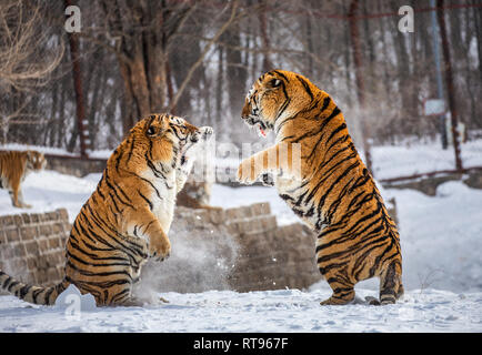 Two Siberian tigers are fighting each other in a snowy glade. China. Harbin. Mudanjiang province. Hengdaohezi park. Siberian Tiger Park. Winter. - Stock Photo
