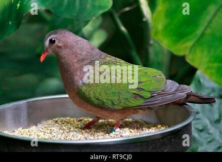 Emerald Dove (chalcophaps indica) - Stock Photo
