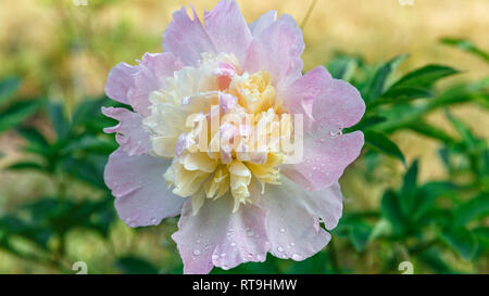 Pink peony flower head in garden with green - Stock Photo