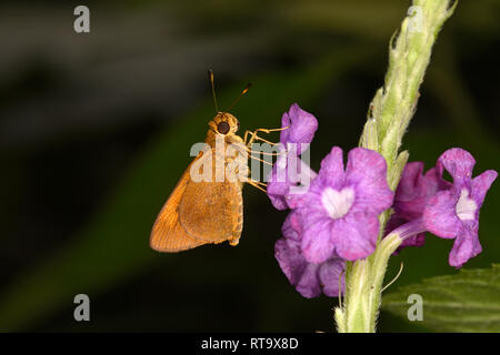 Rainforest Faceted Skipper Butterfly (Synapte silius) adult feeding in purple flower, Soberania National Park, Panama, October - Stock Photo