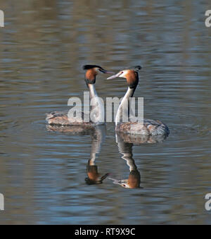 Great Crested Grebes, Podiceps, cristatus - Stock Photo