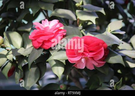 Beautiful, perfect, and pink Camellia japonica, rose of winter, common camellia, Japanese camellia, or tsubaki flower blossoming in a garden. - Stock Photo