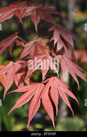 Beautiful cultivated Japanese red maple tree leaves at the Garfield Park Conservatory in Chicago, Illinois. - Stock Photo