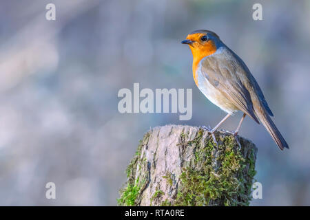 European robin, Erithacus rubecula, perching on tree trunk in british woodland on sunny spring day.Bright and vibrant picture of cute, small bird. - Stock Photo