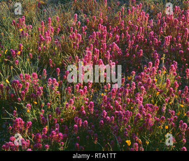 USA, Arizona, Organ Pipe Cactus National Monument, Spring bloom of owl's clover and gold poppy in the Puerto Blanco Mountains. - Stock Photo