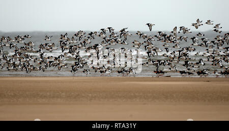 Large flock of oyster catchers move across  the sand bars at the estuary mouth to feed. Several hundred birds gather together for safety. - Stock Photo