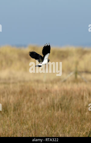 Northern Lapwing flying low over grassland over dune slack. This plover also known as a peewit, as its call describes is a protected species. - Stock Photo
