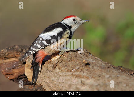 Middle spotted woodpecker sitting on a trunk - Stock Photo
