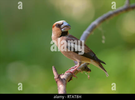 Hawfinch posing at small branch near a water pond - Stock Photo
