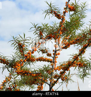 Branches of Sea-Buckhorn with fruits - Stock Photo