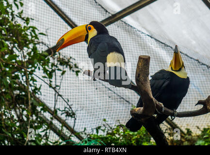 two toco toucans sitting in a tree top in the aviary, colorful tropical birds from America - Stock Photo