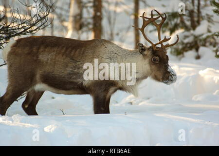 Portrait of a reindeer (Rangifer tarandus) standing in deep snow in a forest - Stock Photo