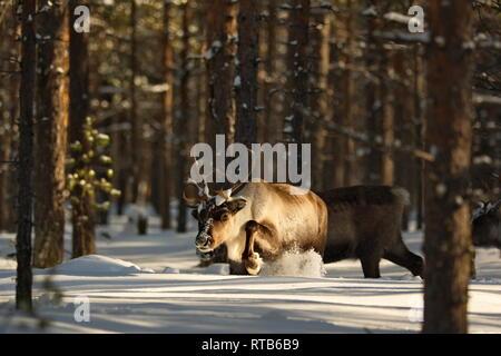 A reindeer (Rangifer tarandus) is plodding through deep snow in a softwood forest. - Stock Photo