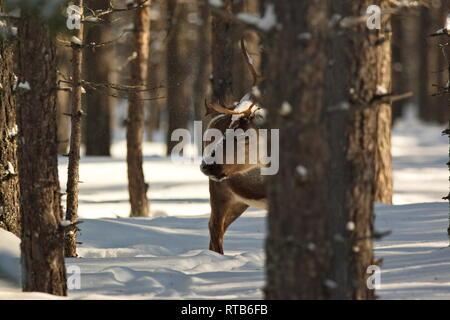 Reindeer (Rangifer tarandus) in a snowy winter forest - Stock Photo