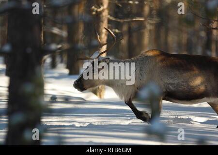Portrait of a reindeer (Rangifer tarandus) moving through a winter forest. - Stock Photo