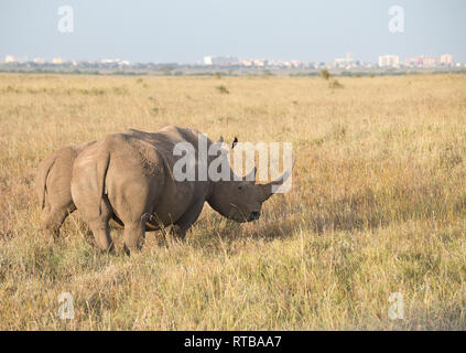 White or grass rhinoceros (Ceratotherium simum), mother and calf with Nairobi city centre in the background. - Stock Photo