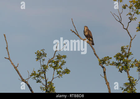 natural common buzzard (buteo buteo) standing on tree branch, blue sky - Stock Photo