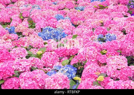 Hydrangea field in full bloom, Liguria, Italy - Stock Photo