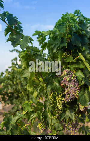 Bunch of unripe blue grapes with leaves, vineyard in autumn - Stock Photo