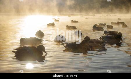 Ducks swim in the river in the fog against the sun - Stock Photo