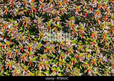 Mexican Cigarplant, Mexican Cigar Plant , Cigar Plant (Cuphea ignea), blooming - Stock Photo